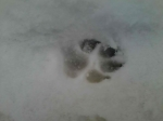 Mid-sized dog paw print.