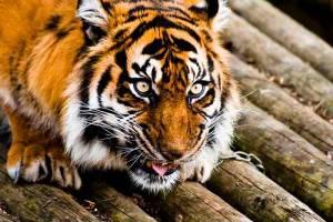 life-of-pi-tiger