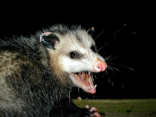 Problems_When_Having_A_Possum_Pet
